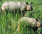 Greater one-horned rhino female and young, Royal Chitwan National Park, Nepal.
