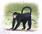 "While this species, sporting an Elvis-like hairstyle, is new to science, the local people of Myanmar know it well. Scientists first learned of ""Snubby"" - as they nicknamed the species - from hunters in Myanmar's forested, remote, and mountainous (Himalayan) Kachin state in early 2010. This illustration is the only representation of a scientifically observed specimen to date."