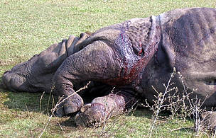 Dead Indian rhino on the ground / ©: WWF