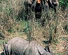 Darted rhinoceros, translocated from Nepal's Royal Chitwan National Park to Royal Bardia National Park in 2002.<BR>