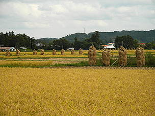 Rice paddy in Autumn. Wakayanagi, Kurihara, Miygai prefecture, Japan.