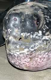 The leatherback turtle named Roamin' Romana. Click to view an enlarged picture.  	© WWF / Carlos Drews