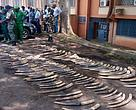 Elephant tusks seized from the convicts. At least 80 elephants were killed going by the number of tusks seized