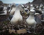 A pair of shy albatrosses (Thalassarche cauta) reunite for the breeding season and engage in courtship rituals, Albatross Island, June 2017. © © Matthew Newton / WWF-Aus