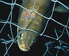 Norwegian fisheries regulators have banned all fishing of the critically endangered European eel starting in 2010.