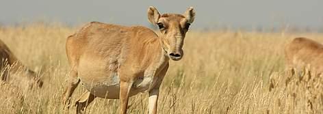 Saiga Antelope Wwf