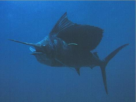 Marlin vs swordfish - photo#22