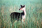 Female Sambar (<i>Cervus unicolor</i>) deer in tall grass.  	© WWF / A. Christy WILLIAMS