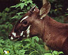The saola (also known as Vu quang ox,  <I>Pseudoryx nghetinhensis</I>) was only discovered by scientists in 1992.<BR>