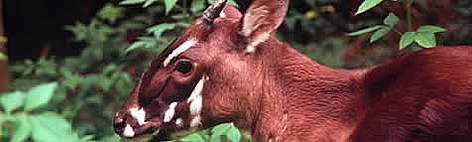 Saola | Animal Database | FANDOM powered by Wikia