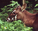 Saola (<I>Pseudoryx nghetinhensis</I>, also known as Vu Quang ox).