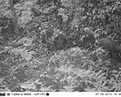 Camera trap photo taken on 7 September 2013 at early evening shows a single saola moving along a rocky forest valley stream in a remote corner of the Central Annamite mountains of Vietnam.