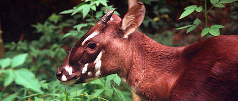 Saola (a.k.a Vu Quang ox). Four - five month old female at the Forest Inventory and Planning ... rel=