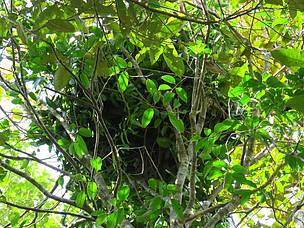 WWF Indonesia, orangutan nest, heart of borneo, hob, central kalimantan, sebangau national park, bukit baka bukit raya national park