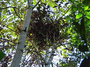 orangutan nest, borneo orangutan, heart of borneo, central kalimantan, sebangau national park,