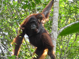Samsulri, borneo orangutan, Sebangau National Park, Central Kalimantan, Heart of Borneo, HoB