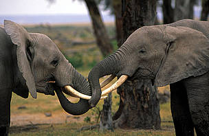Countries urged to regulate illegal ivory trade