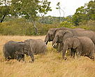Loxodonta africana, herd of African savanna elephants grazing in the Masai Mara National Reserve, Kenya