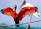 Scarlet ibis (<i>Eudocimus ruber</i>), French Guiana. Large colonies can only survive ... / ©: WWF / Roger LeGUEN