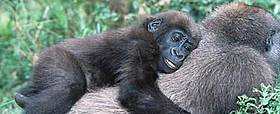 In some cases the common name and scientific name are same. For example, Gorilla's scientfic name ...  	© WWF / Martin Harvey