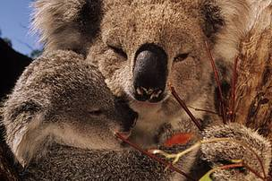 Koala mother with joey (young) feeds on eucalyptus leaves. Australia.