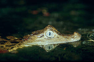 Narrow-snouted spectacled caiman. French Guiana