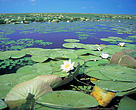 White water lily (Nymphaea alba); Danube-Carpathian Lake inside reeds, with White waterlily, Nymphaea alba. Ismail Islands, Ukraine
