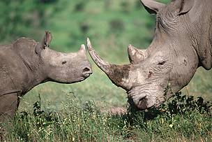 Southern white rhinoceros mother and calf. The white rhino is listed by the IUCN as endangered.  	© Martin Harvey / WWF