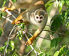 Squirrel monkey (Saimiri sciureus) in a tree. Mountains of Tumucumaque National Park, Amapá, Brazil, 2005.