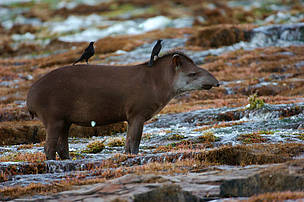 Tapirs (Tapirus terrestris) grazing at the Monte Cristo Falls, Juruena National Park, Brazil.
