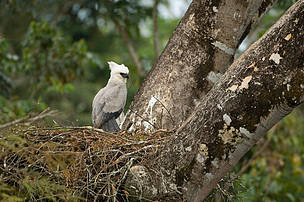 A young Harpy or Harpy eagle (Harpia harpyja) on his nest. Juruena National Park, Brazil.