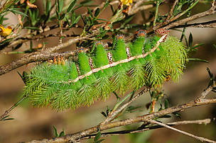 Green caterpillar, Juruena National Park, Brazil