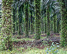 Palm Oil Plantation, Ivory Coast