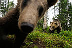 Eurasian Brown bear (Ursus arctos), Suomussalmi, Finland. © Wild Wonders of Europe /Staffan Widstrand / WWF