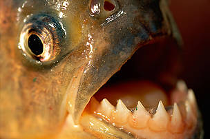 Amazon piranhas (Serrasalmus); Brazil