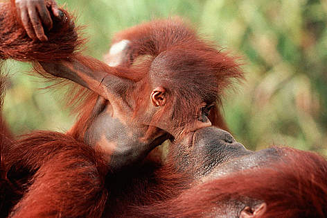 Orang utan (Pongo pygmaeus) baby 'kissing' mother, Borneo. rel=
