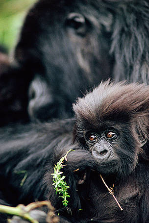 Mountain gorilla baby, Virunga National Park, Democratic Republic of Congo.  	© naturepl.com/Bruce Davidson / WWF
