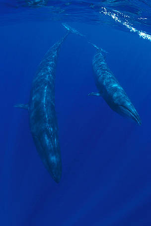 Sei whale and calf (Balaenoptera borealis) Azores, North Atlantic Ocean  	© naturepl.com/Doug Perrine / WWF