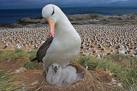Black-browed albatross with chick on nest, part of a large colony, Steeple Jason, Falkland Islands rel=