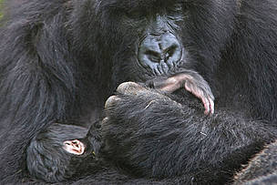 Mountain gorilla mother cradling and kissing foot of 1 week baby, Volcanoes NP, Virunga Mountains, Rwanda