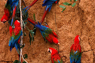 Green winged macaws (Ara Chloroptera) feeding on minerals at river bank, Amazonia, Peru.