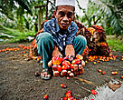 Pak Gordy holding palm oil fruit, Sumatra, Indonesia