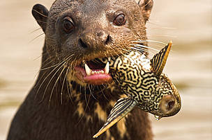 A Giant Otter (Pteronura brasiliensis) feeding on a fish.