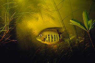 Heros severus Banded cichlid swimming through flooded palm trees, rainy season Tributary of Rio Tapajos, Para, Brazil.