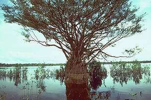 Jaú National Park Floodplain tree with roots out of the water, Brazilian Amazon.