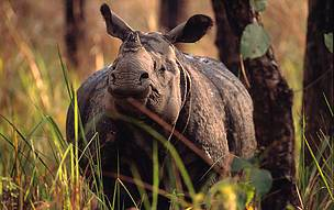 Indian rhinoceros (Rhinoceros unicornis), Chitwan National Park, Nepal. © Michel Gunther / WWF-Canon  	© Michel Gunther / WWF