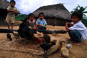 Huachipaeri children feeding chicken and ducks with termites. Huachipaeri Indian Community Santa Rosa de Huacaria at the southeastern border of Manu National Park near Pilcopata. WWF/Pro Naturaleza Project aims are education, to preserve traditional farming methods and assistance in animal breeding. Manu National Park, Peru.