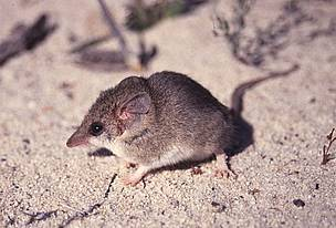 Little long-tailed dunnart (Sminthopsis dolichura). / ©: Dr Robert A Davis