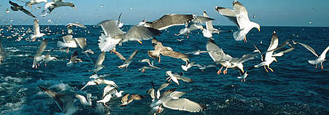 Seabirds, North Atlantic Ocean. rel=