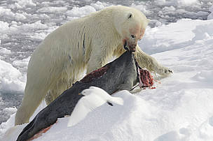 Polar bear with seal carcass.